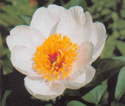 Produktbild Paeonia Hybride 'Garden Peace'