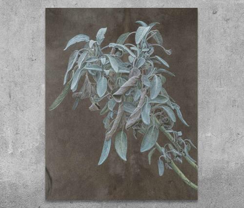 Produktbild Salvia officinalis (Salbei)