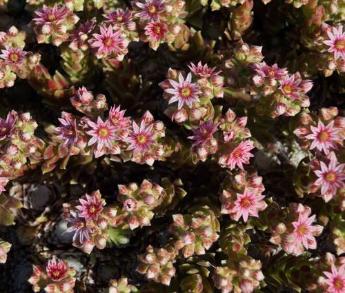 Produktbild Sempervivum Arachnoideum-Hybride 'Silberkarneol'