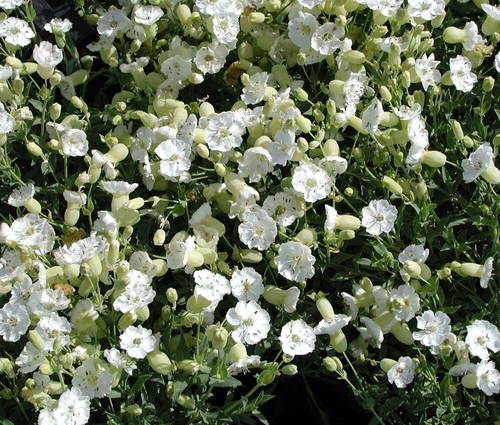 Produktbild Silene uniflora 'Weißkehlchen'