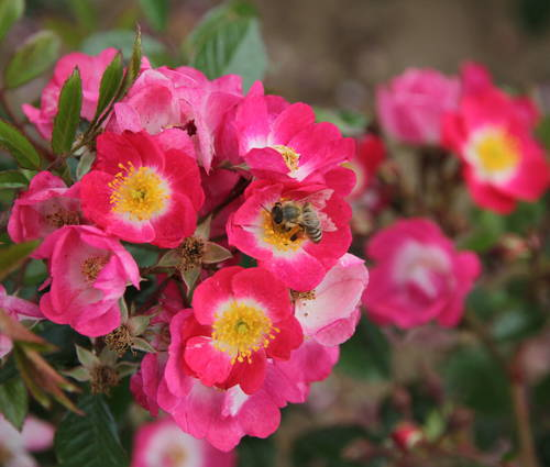 Produktbild Rosa 'Bee Lovely'