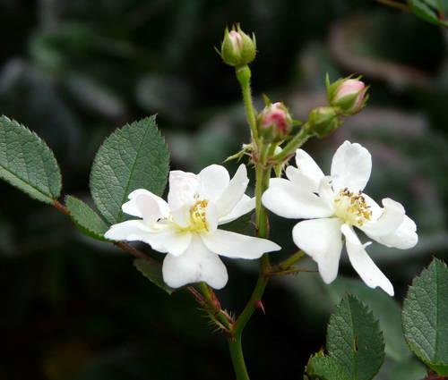 Produktbild Rosa multiflora nana
