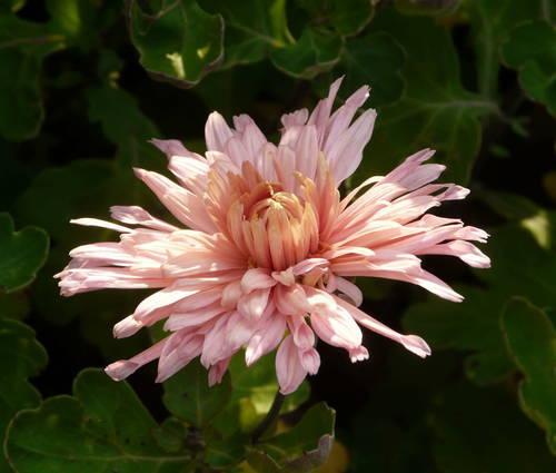 Produktbild Chrysanthemum Indicum-Hybride 'Apricot'