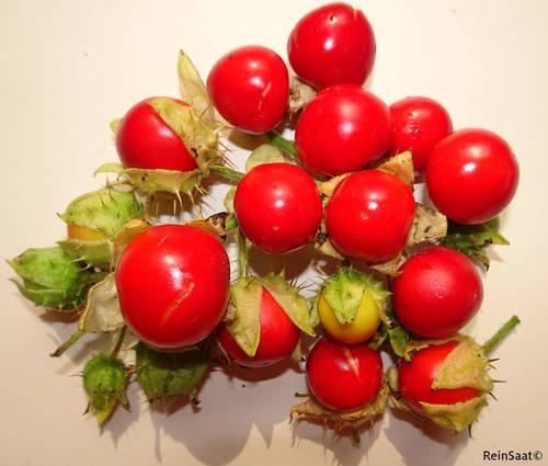 Produktbild Saatgut: Litschitomate