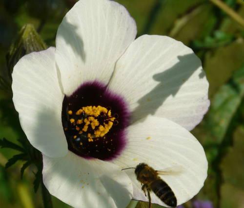 Produktbild Saatgut (konventionell): Hibiscus cannabinus