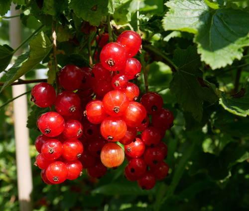 Produktbild Ribes rubrum 'Roter Holländer'
