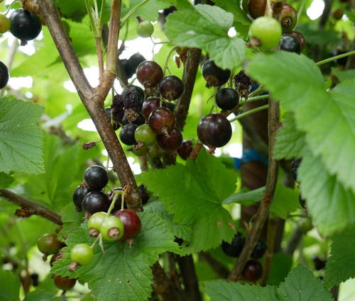 Produktbild Ribes nigrum 'Titania'