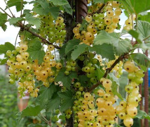 Produktbild Ribes sativa 'Primus'