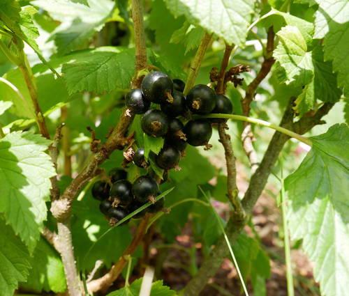 Produktbild Ribes nigrum 'Bona'