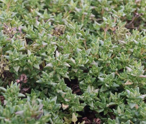 Produktbild Thymus vulgaris 'Rosenthymian'
