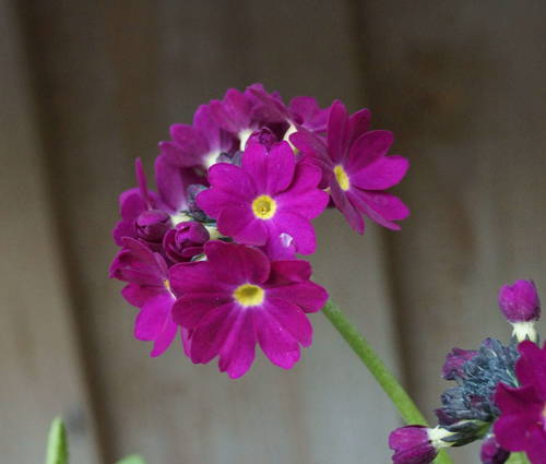 Produktbild Primula denticulata 'Rubin Auslese'