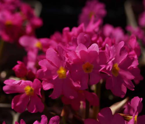 Produktbild Primula rosea 'Gigas'