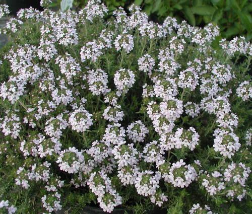 Produktbild Thymus Hybride 'Duftkissen'