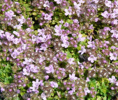 Produktbild Thymus Hybride 'Rasta'