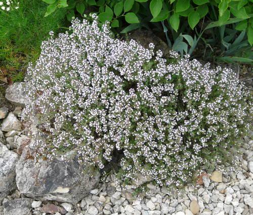 Produktbild Thymus vulgaris 'Compactus'