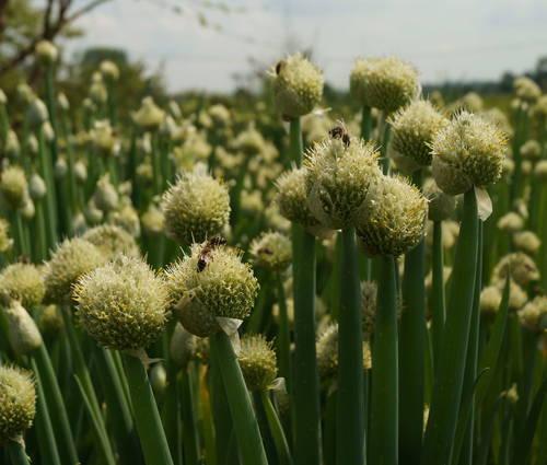 Produktbild Allium fistulosum
