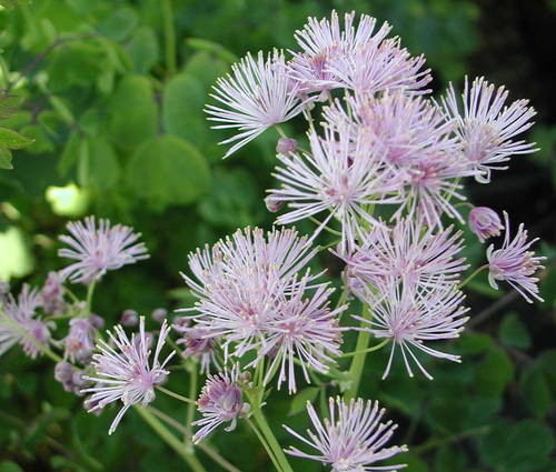 Produktbild Thalictrum aquilegiifolium