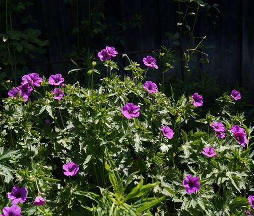 Produktbild Geranium psilostemon 'Ivan'