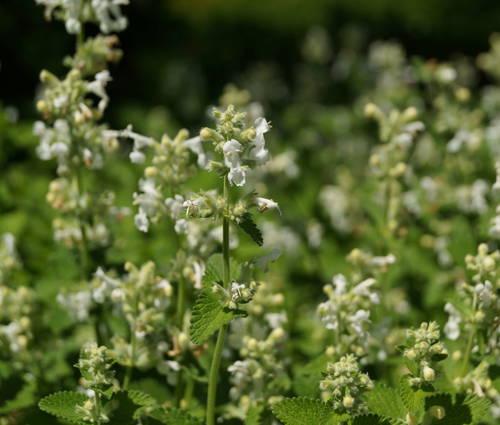 Produktbild Nepeta racemosa 'Snowflake'
