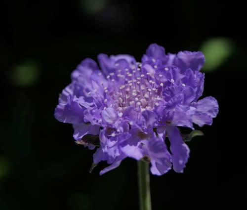 Produktbild Scabiosa columbaria 'Butterfly Blue'