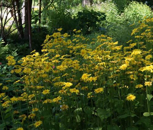 Produktbild Doronicum pardalianches