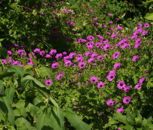 Produktbild Geranium psilostemon 'Sumela'