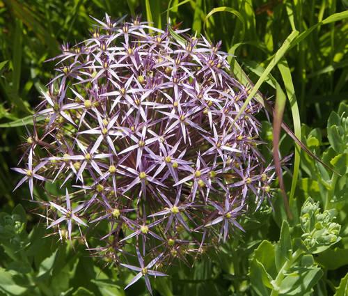Produktbild Allium christophii