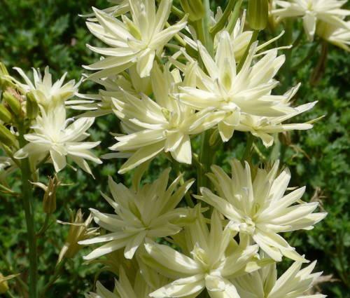 Produktbild Camassia leichtlinii ssp. leichtlinii 'Semiplena'