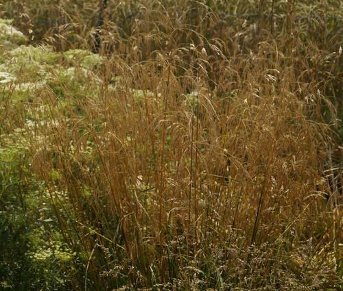 Produktbild Deschampsia cespitosa 'Goldschleier'