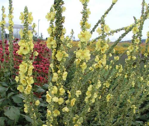 Produktbild Verbascum densiflorum
