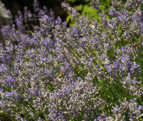 Produktbild Lavandula angustifolia 'Jamlitz'