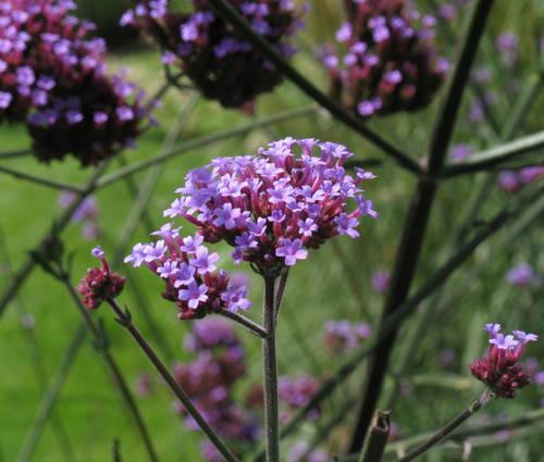 Produktbild Verbena bonariensis