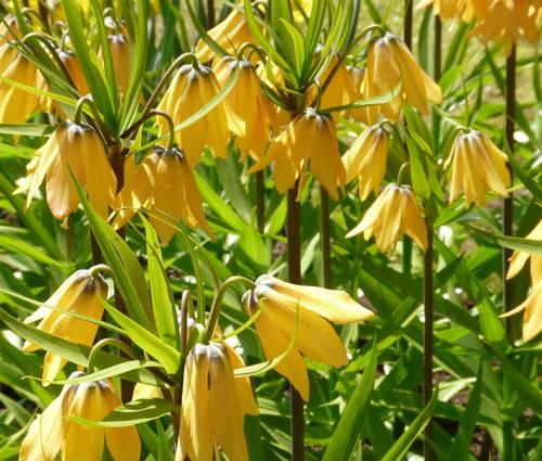 Produktbild Fritillaria Hybride 'Vivaldi'