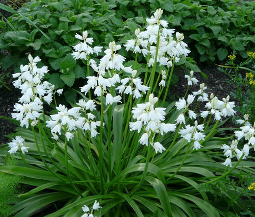Produktbild Hyacinthoides hispanica 'Alba Maxima'