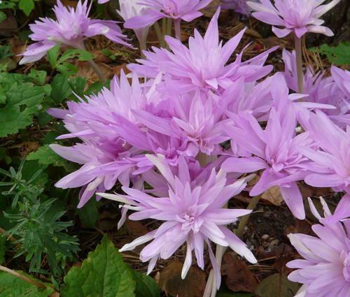 Produktbild Colchicum speciosum 'Waterlily'