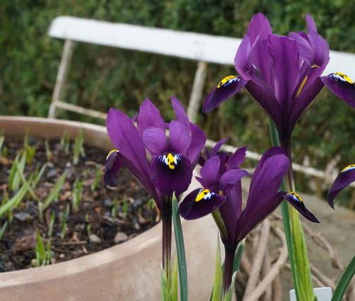 Produktbild Iris reticulata 'Purple Hill'