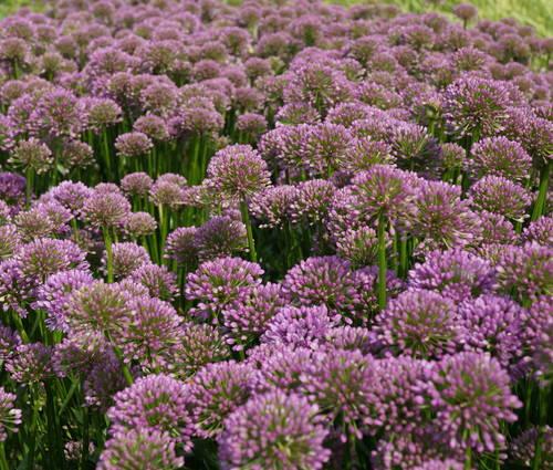 Produktbild Allium Hybride 'Millenium'