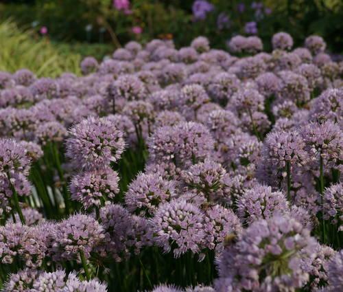 Produktbild Allium Hybride 'Summer Beauty'