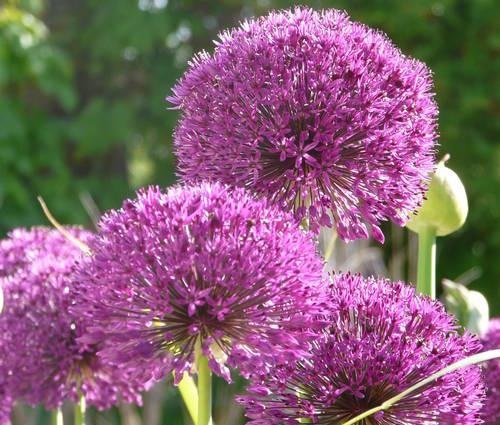 Produktbild Allium x hollandicum 'Purple Sensation'