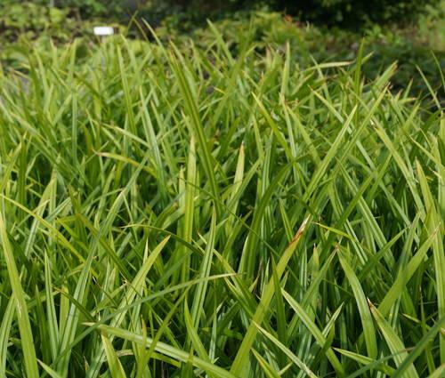 Produktbild Carex morrowii ssp. foliosissima 'Irish Green'