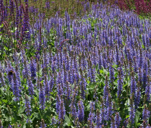 Produktbild Salvia nemorosa 'Blauhügel'