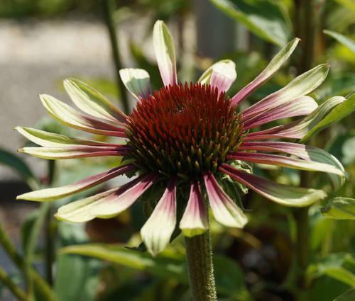 Produktbild Echinacea purpurea 'Green Twister'