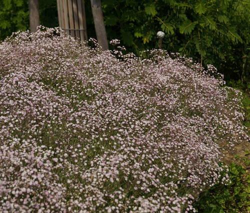 Produktbild Gypsophila Hybride 'Rosenschleier'