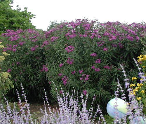 Produktbild Vernonia crinita
