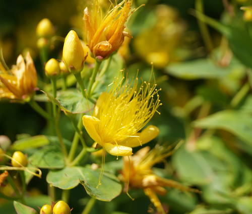 Produktbild Hypericum hircinum