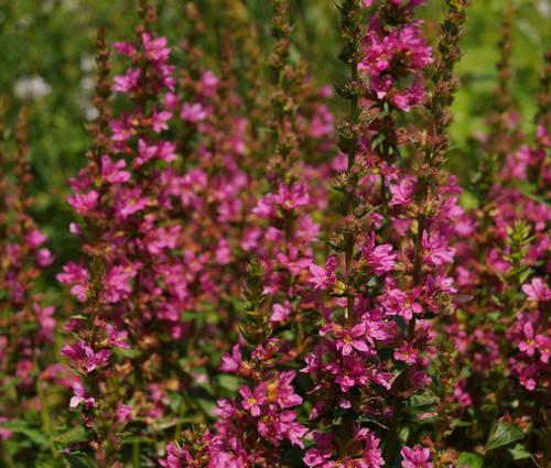 Produktbild Lythrum salicaria 'Robert'