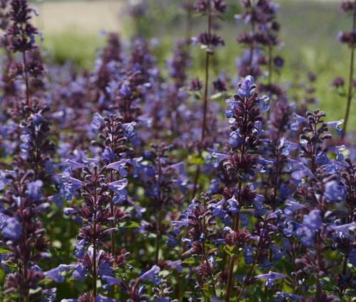 Produktbild Nepeta grandiflora 'Blue Danube'