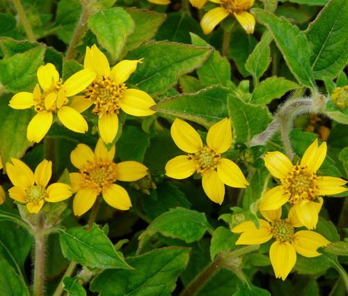 Produktbild Chrysogonum virginianum