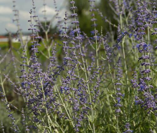 Produktbild Perovskia atriplicifolia 'Blue Spire'