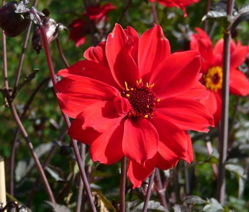 Produktbild Dahlia 'Bishop of Llandaff ®'